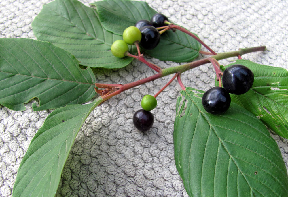 Health Benefits of Cascara For Weight Loss